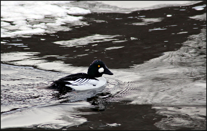 Common Goldeneye Ottawa, Ontario Canada