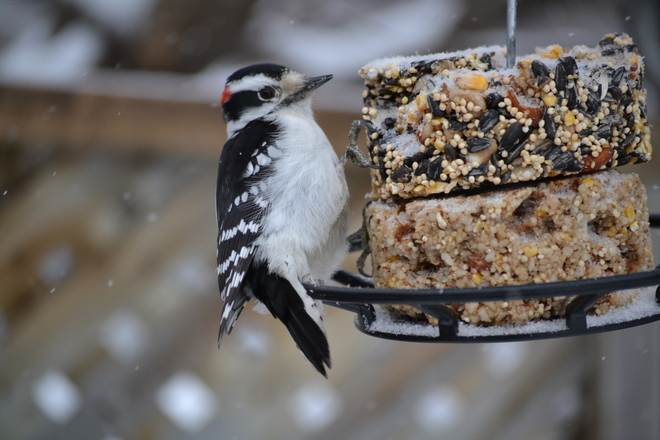Downy Woodpecker Snowy Day Ottawa, Ontario Canada