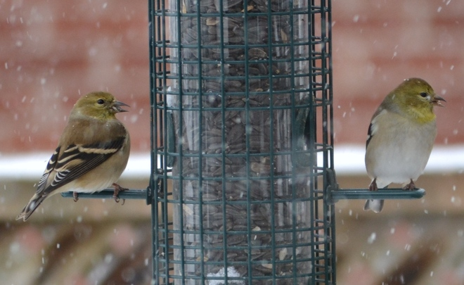 Goldfinches On A Snowy Day Ottawa, Ontario Canada