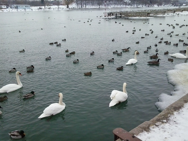 NO FROZEN SWANS TODAY Port Dalhousie, Ontario Canada