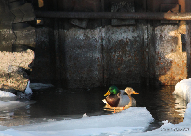 Lovey Ducks @ the Wharf! Kingston, Ontario Canada