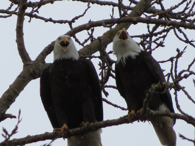 Valentines Eagles Richmond, British Columbia Canada