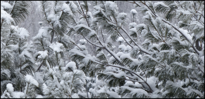 Snow covered pines, outside my window. Elliot Lake, Ontario Canada