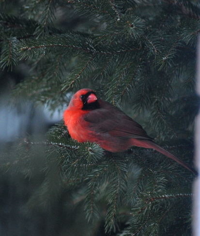 Cardinal at the window