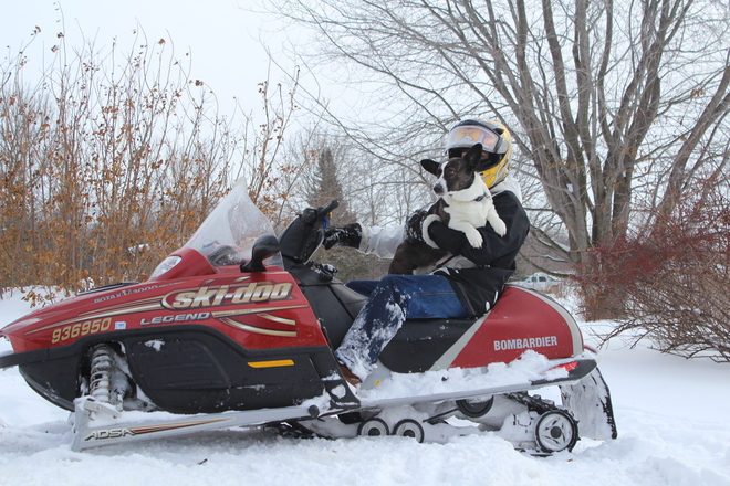 Corgie loves skidooing Russell, Ontario Canada