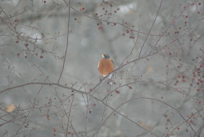 Robin in a snow storm Greenwood, Nova Scotia Canada