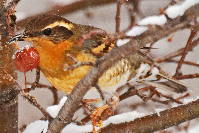 Varied Thrush With a Berry Kitchener, Ontario Canada