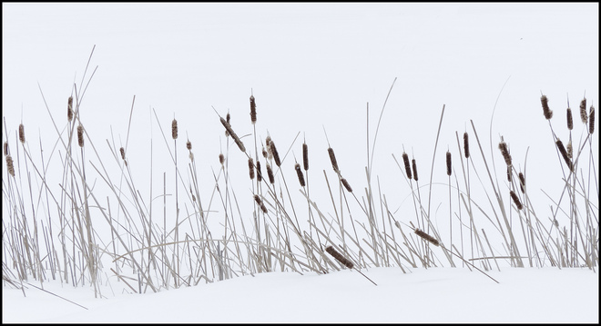 Sheriff Creek cattails in the snow. Elliot Lake, Ontario Canada