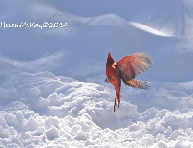 Flight of the happy red cardinal Smiths Falls, Ontario Canada