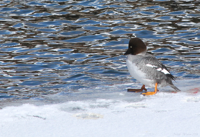 Lonely Female Common Goldeneye Kingston, Ontario Canada