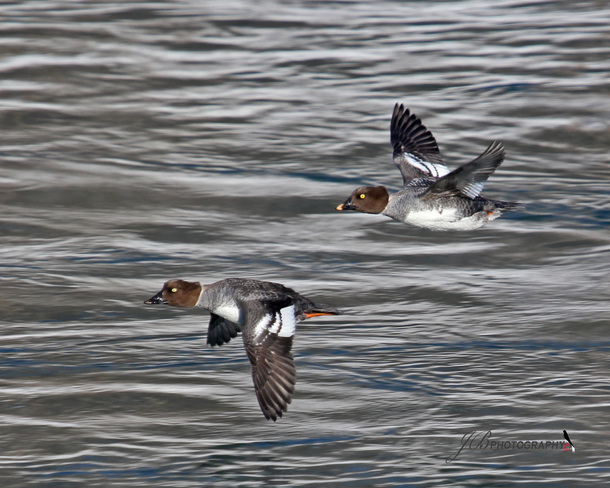 Females Common Goldeneyes Port Colborne, Ontario Canada
