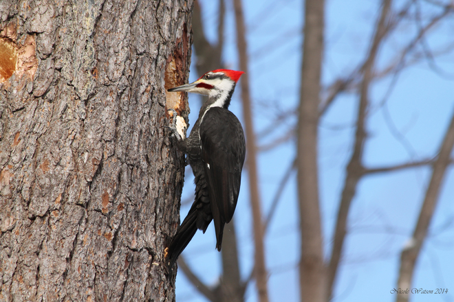 Pileated Woodpecker Kingston, Ontario Canada