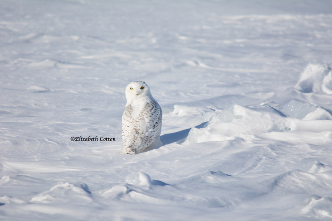 Snowy Owl Kingston, Ontario Canada
