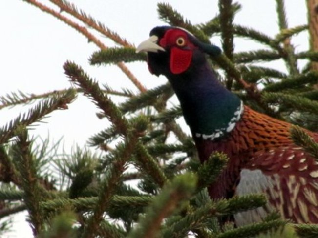 Ring-Necked Pheasant in a Tree Amherst, Nova Scotia Canada
