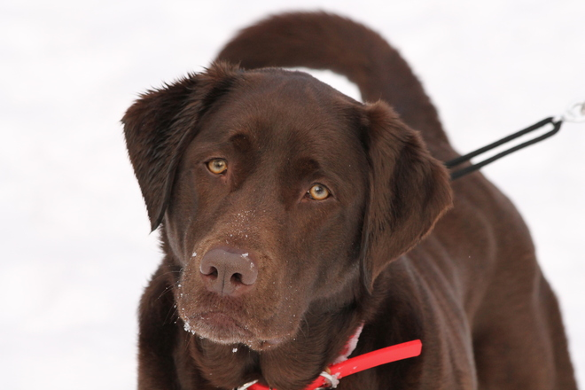 Beautiful Chocolate Lab!