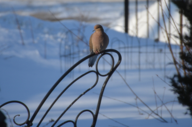 Nicely perched Mourning Dove! St. Catharines, Ontario Canada