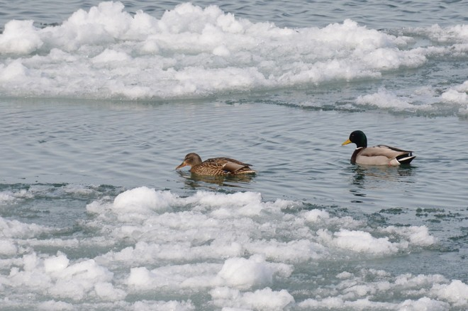 Peaceful Pair on Niagara River! St. Catharines, Ontario Canada