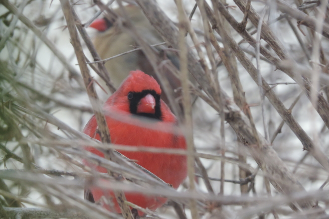 Two Cardinals in the Bush Ottawa, Ontario Canada