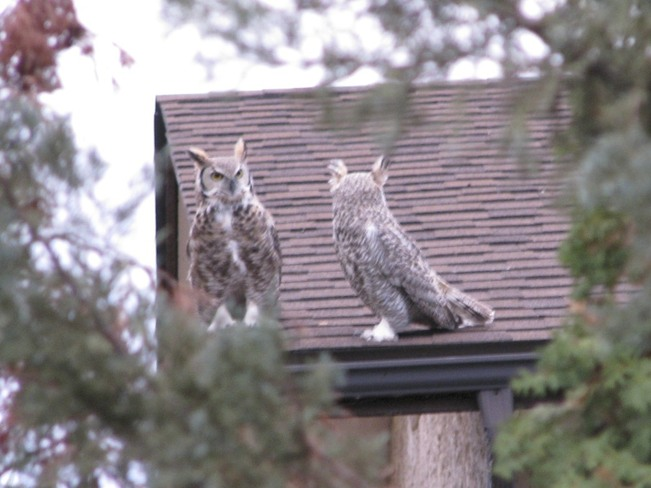 Owls on house next door Regina, Saskatchewan Canada