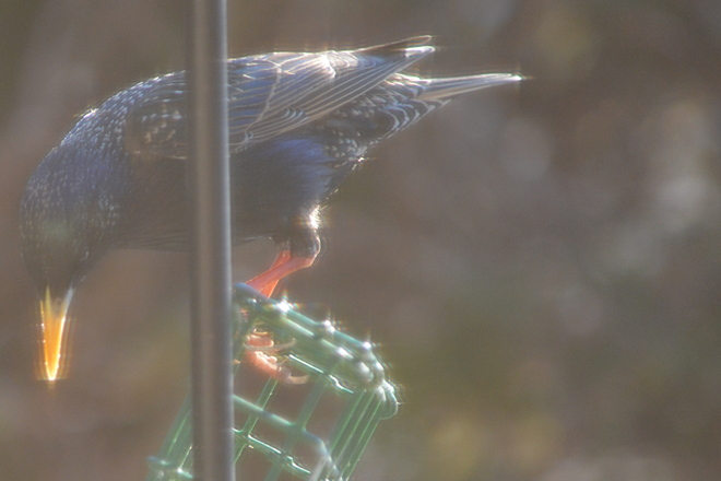 The Stylish Starling -Series of 3 of 5 St. Catharines, Ontario Canada