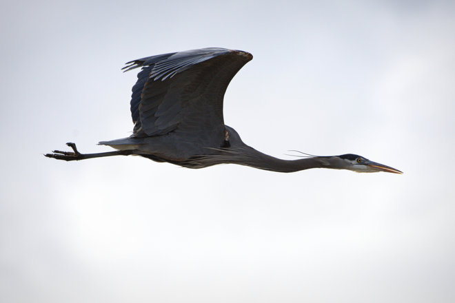 GBH In Flight At BB Delta, British Columbia Canada