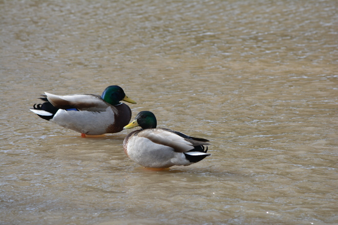 Pair of Male Mallard St. Catharines, Ontario Canada