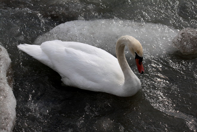 Swan in icy waters Cobourg, Ontario Canada