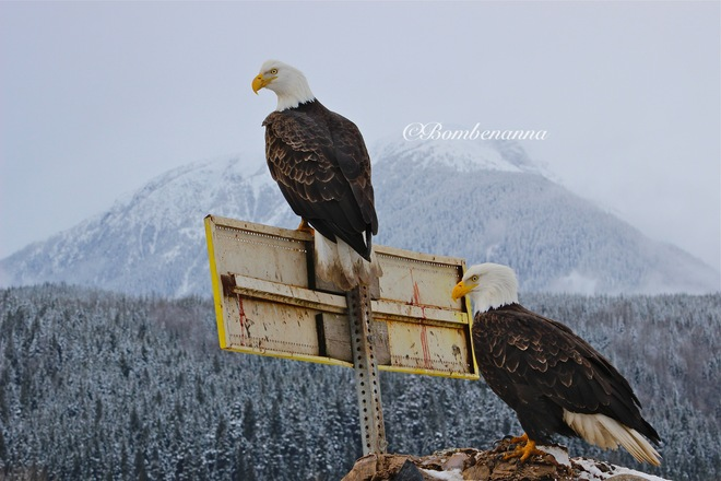 Bald Eagles and Mountains Terrace, British Columbia Canada