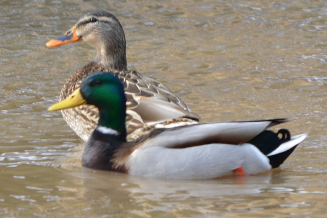 Male and Female Mallard! St. Catharines, Ontario Canada