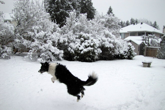 Angel catching snowballs Surrey, British Columbia Canada
