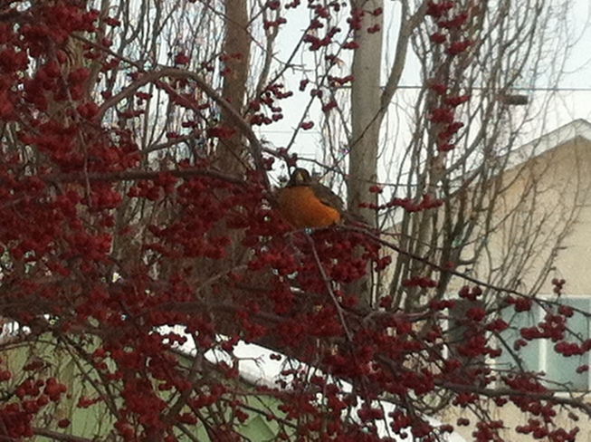 First Robin Winnipeg, Manitoba Canada