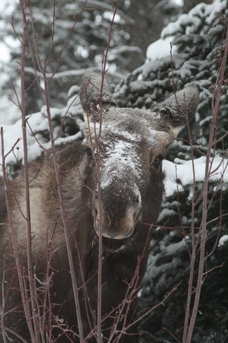 Moose eating saskatoon bush outside kitchen window Blairmore, Alberta Canada