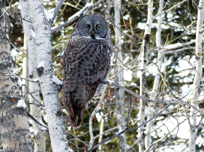 Great Gray Owl Calgary, Alberta Canada