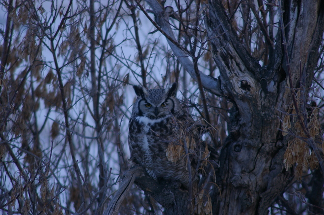 the great horned owl visitor Irricana, Alberta Canada