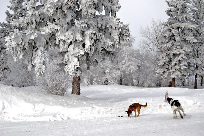 Frosty Trees and dogs Reward, Saskatchewan Canada
