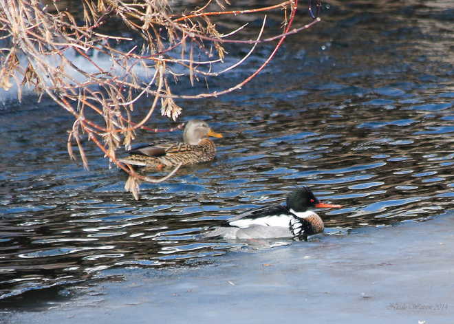 Male RB Merganser & Female Mallard