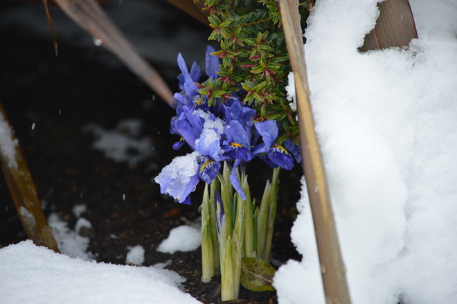 Irises in the snow North Saanich, British Columbia Canada