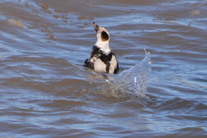 Long Tailed Duck! St. Catharines, Ontario Canada