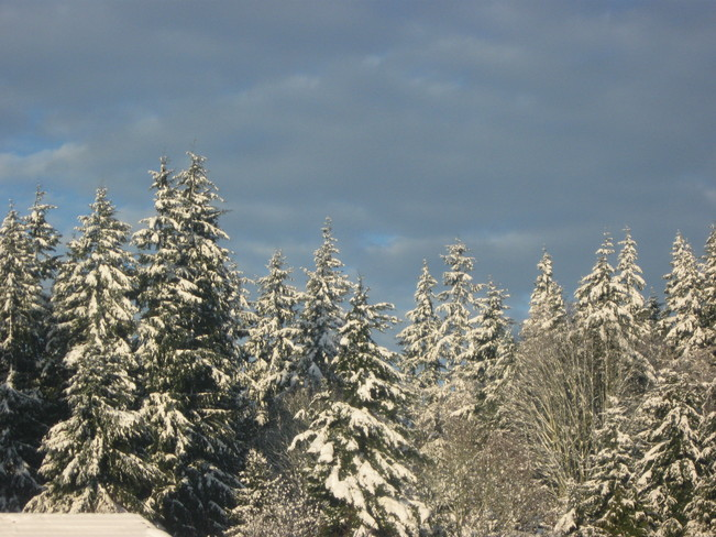 snow-tipped trees Surrey, British Columbia Canada
