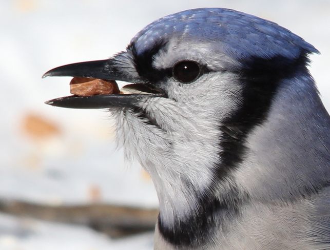 I Hope The Blue Jays Are Hungry To Win! Fergus, Ontario Canada