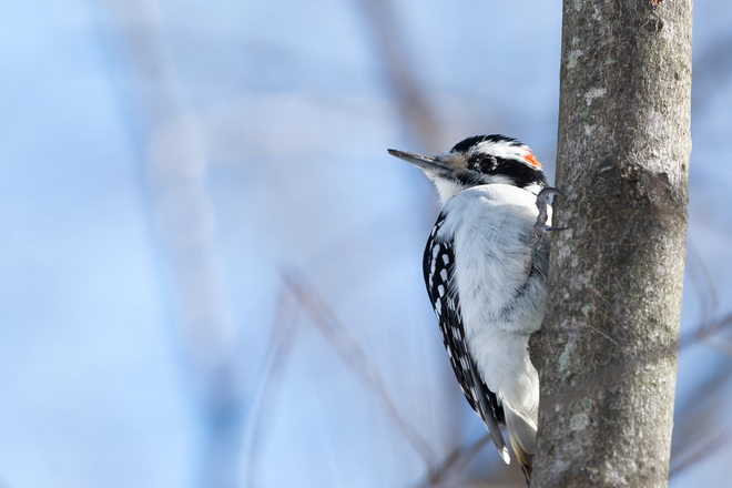Male Hairy Woodpecker Kingston, Ontario Canada