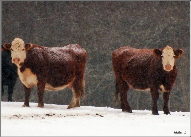 Cattle In The Snow Canning, Nova Scotia Canada