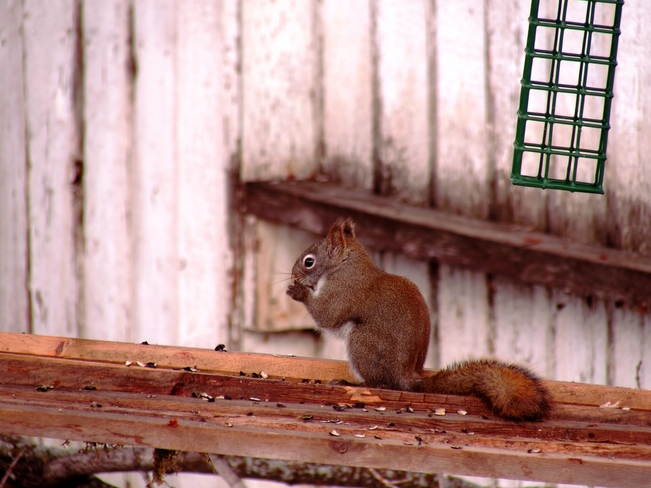 Squirrel! Peace River, Alberta Canada