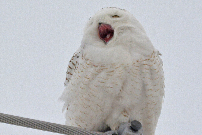 Bored Snowy Owl Kitchener, Ontario Canada