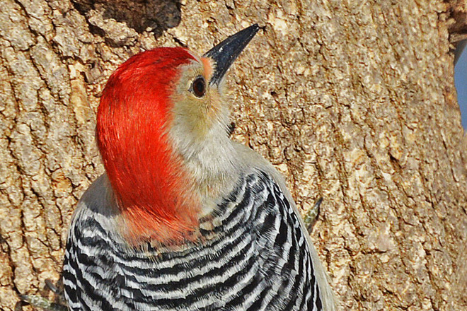 Close-up of Red-Bellied Woodpecker Kitchener, Ontario Canada