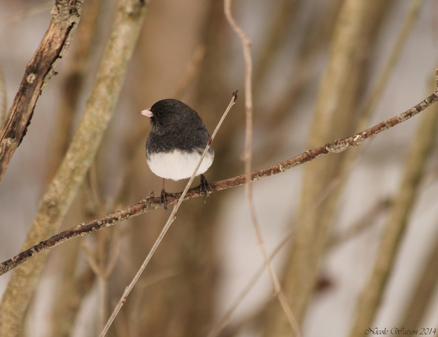 Dark eyed junco Kingston, Ontario Canada