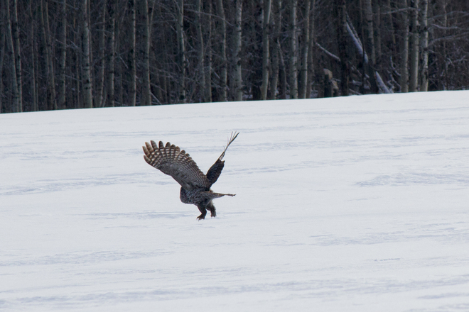 Great Grey Takes Off Big River, Saskatchewan Canada