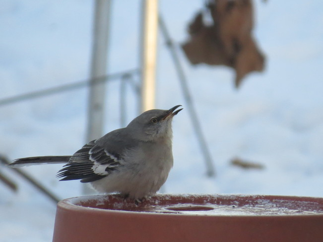 Northern Mockingbird Oshawa, Ontario Canada