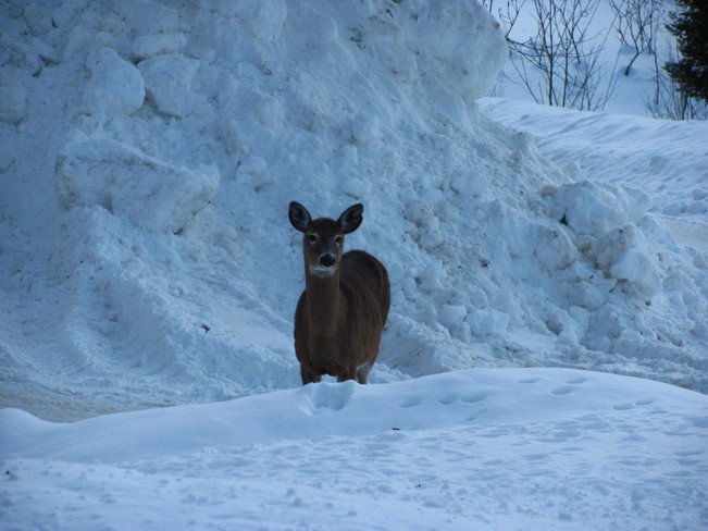 Deer in front of snow bank Muskoka, Ontario Canada