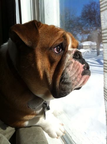 Oli the bulldog wishing for warmer weather so he can go play outside! Winnipeg, Manitoba Canada
